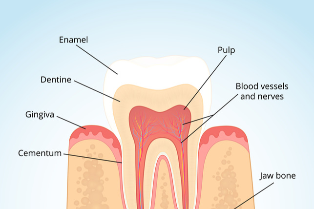 The hardest substance in your body also the most vulnerable tooth enamel is the first line of defense your teeth have against plaque and cavities it is the white visible part of the tooth and it is also the hardest ccuart Gallery